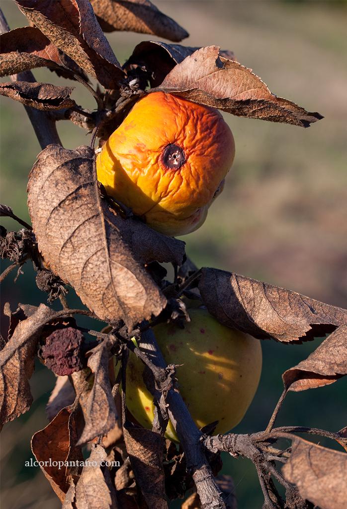 IMG_8841 cerco manzanas ok flickr